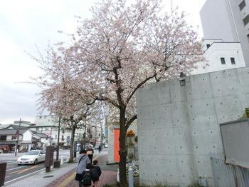 himaraya-zakura.JPG